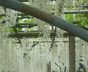 足利フラワーパーク