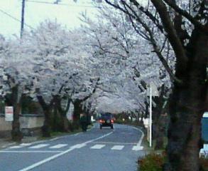 長瀞の桜並木
