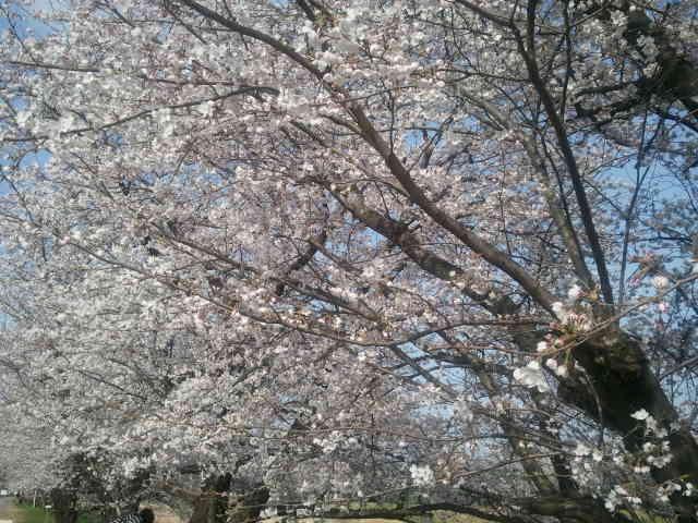 桜とヤギとポッポ